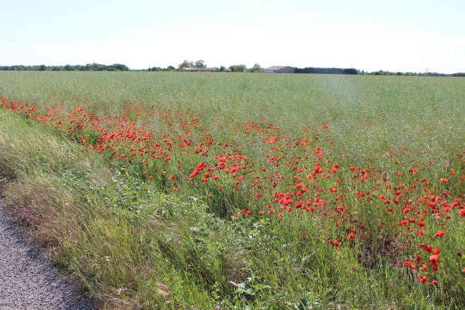 Poppies line the road side