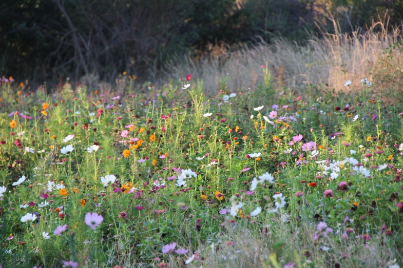 Many good friends including you our Hisako have helped keep our wild flower meadow look so beautiful. I hope it keeps going for months