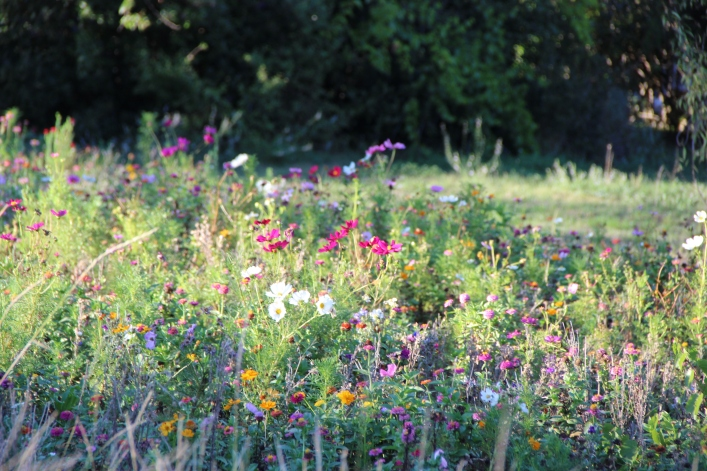 We had a massive rain fall a week ago and my wildflower meadow is so happy and pretty.