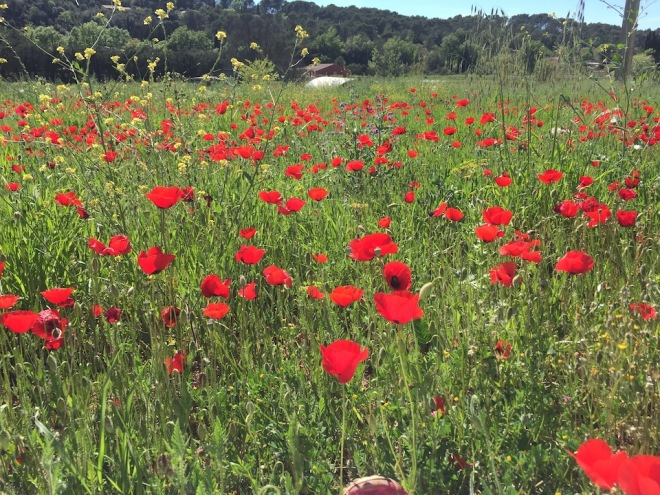 april-24th-poppies-at-their-best