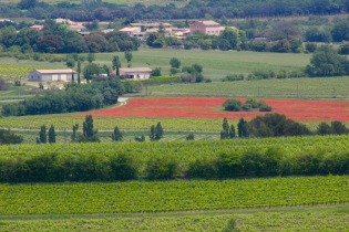 Poppy fields in the Vineyards
