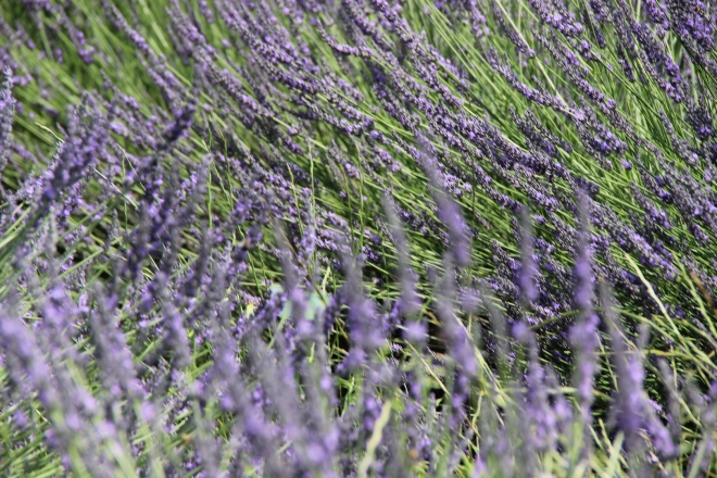 Love the lavender