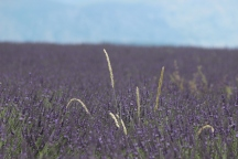 Oops am I meant to be in a field of lavender?