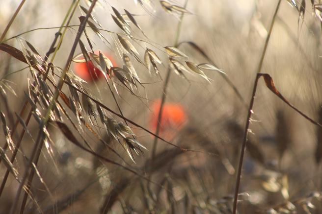 Poppies in the grasses Paint Provence with Tess
