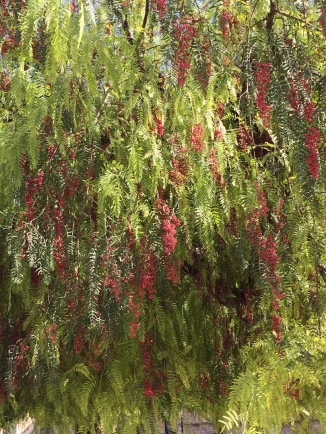 Rose peppercorn trees everywhere. Paint Provence with Tess