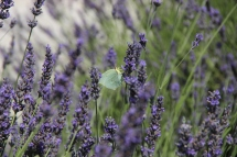 Lavender and butterfly provence
