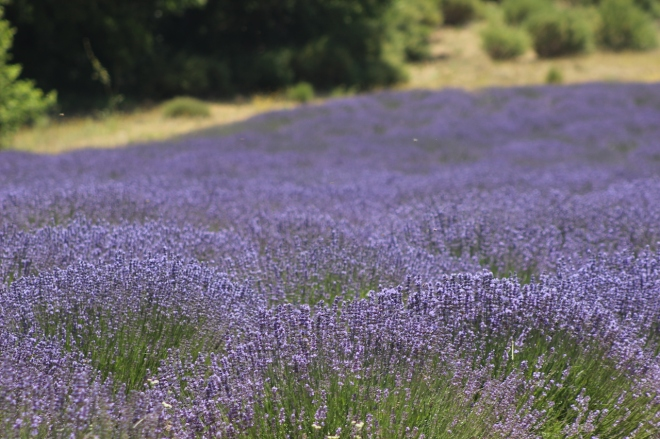 Oh the beauty of lavender in provence