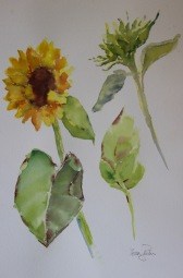 Sunflower rough water colour sketch